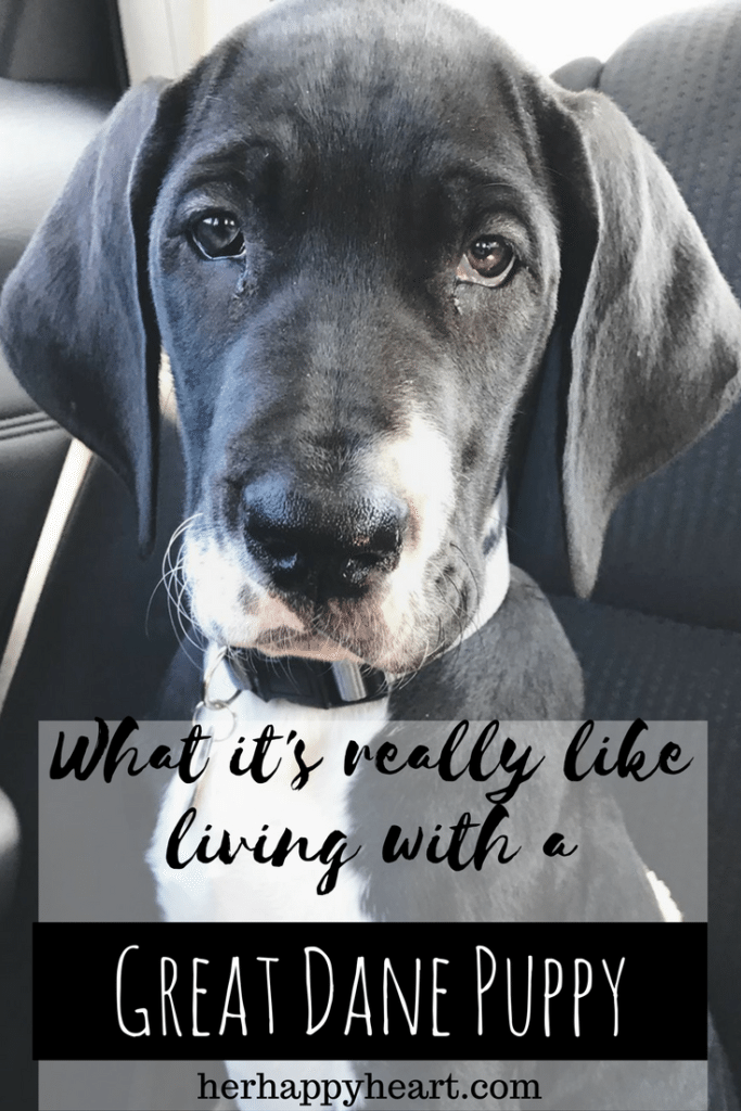 Living With A Great Dane Puppy | Great Danes are a special breed and have their own unique puppy quirks! Here's my experience of life so far with our new puppy!
