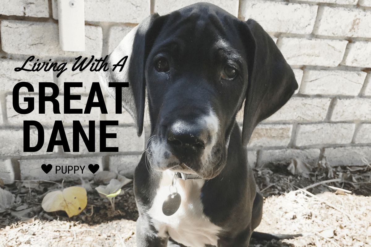 Living With A Great Dane Puppy